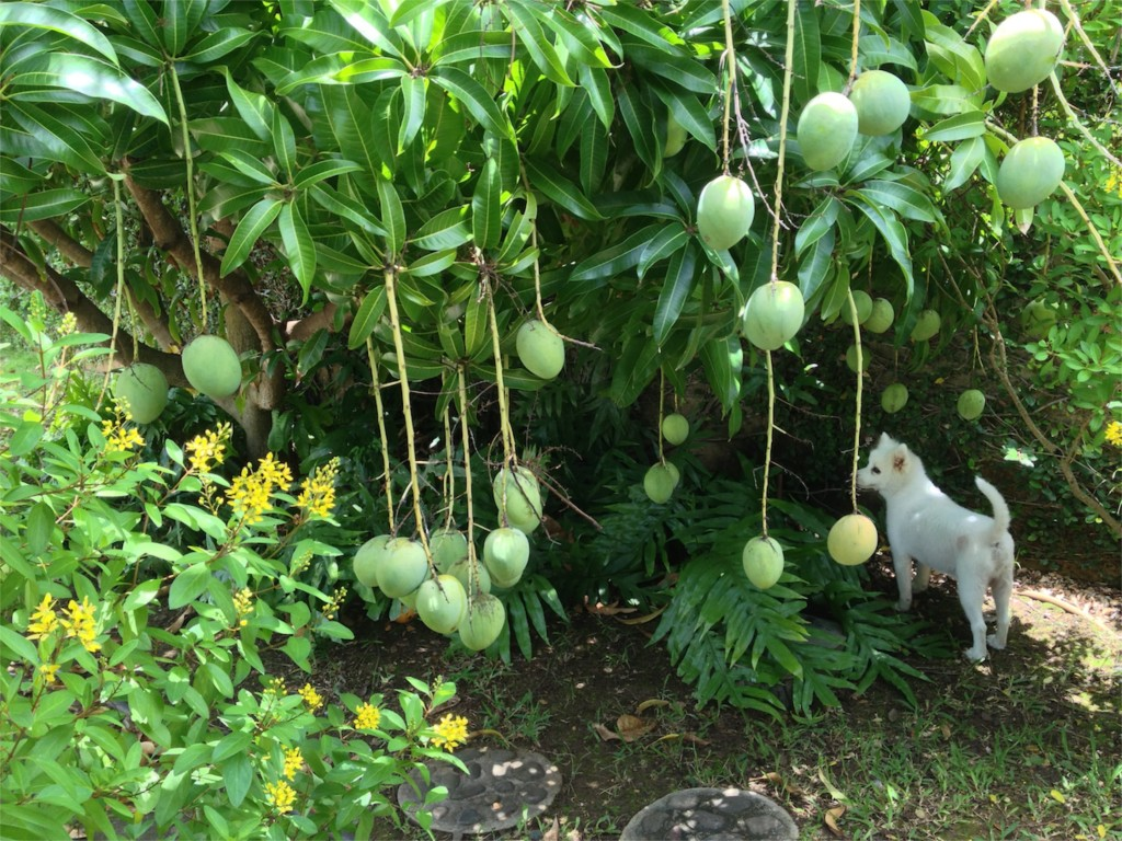 Our Mango Tree and Juno