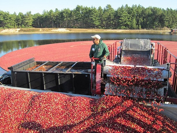 Sucking up the cranberries