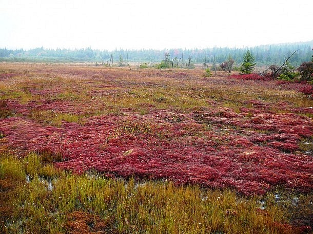 Wild cranberry bog