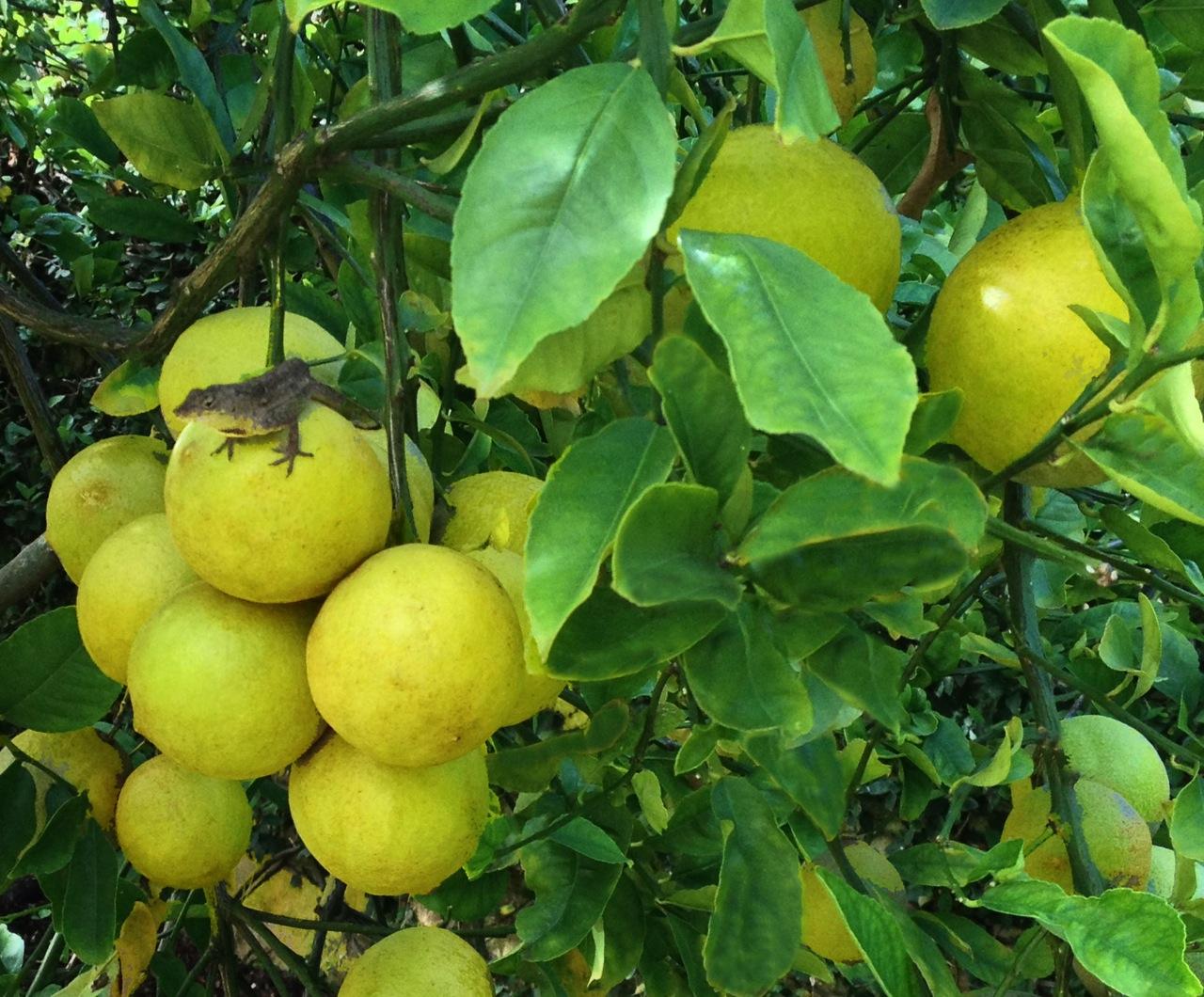 Our Meyer lemon tree