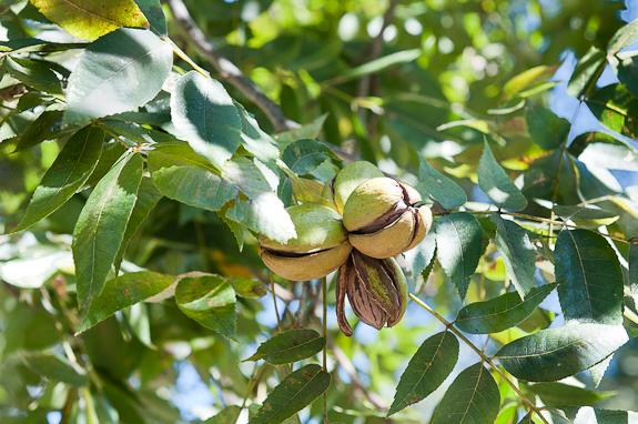 Pecan-on-Tree