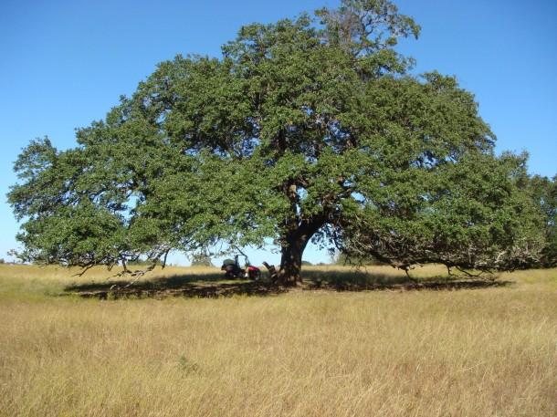 Wild Pecan Tree